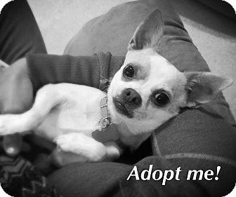 Chihuahua Mix Dog for adoption in Kalamazoo, Michigan - Paisley - Lynn