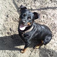 Labrador Retriever/Rottweiler Mix Dog for adoption in Longs, South Carolina - Maria