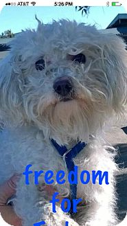 Toy Poodle Mix Dog for adoption in La Canada, California - Tucker