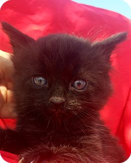 Domestic Mediumhair Kitten for adoption in Corona, California - BETTY