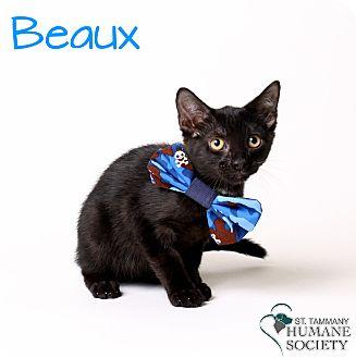 Domestic Shorthair Kitten for adoption in Covington, Louisiana - Beaux
