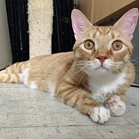 Domestic Shorthair Cat for adoption in Los Angeles, California - Clinton