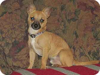 Chihuahua Mix Puppy for adoption in Grand Rapids, Michigan - Mighty Mouse