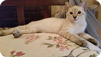 Siamese Kitten for adoption in Ocala, Florida - Sebastian