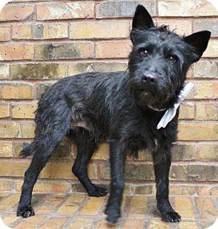 Scottie, Scottish Terrier Mix Dog for adoption in Benbrook, Texas - Sid