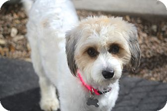 Tibetan Terrier/Poodle (Standard) Mix Dog for adoption in Norwalk, Connecticut - Addison