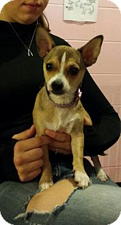 Chihuahua/Terrier (Unknown Type, Small) Mix Puppy for adoption in New Martinsville, West Virginia - Milly