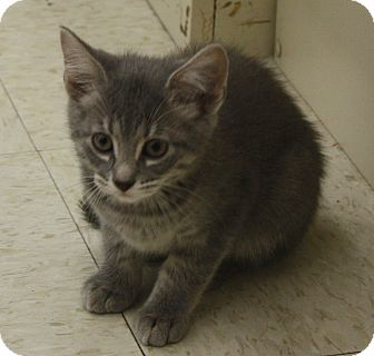 Domestic Shorthair Kitten for adoption in Warren, Ohio - Sweet Pete
