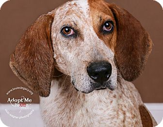 Redtick Coonhound Mix Dog for adoption in Cincinnati, Ohio - Amos- WAIVED FEE