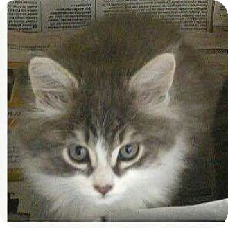Domestic Longhair Kitten for adoption in THORNHILL, Ontario - Donut