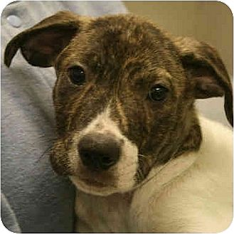 Boxer Mix Puppy for adoption in Huntley, Illinois - Andy
