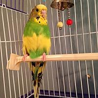 Adopt A Pet :: Dazzle - St. Louis, MO