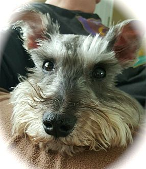 Miniature Schnauzer Dog for adoption in Sharonville, Ohio - Prince