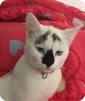 Siamese Kitten for adoption in Corona, California - ABBY