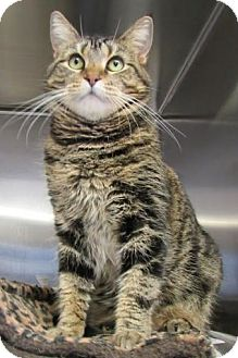 Domestic Shorthair Cat for adoption in Bridgewater, New Jersey - Eden