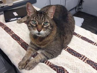 Domestic Shorthair/Domestic Shorthair Mix Cat for adoption in Toronto, Ontario - Junior