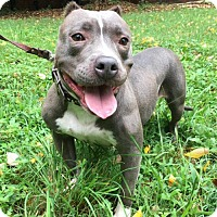 Adopt A Pet :: Pikachu - Charlotte, NC