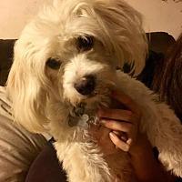 Adopt A Pet :: Petra - Manhattan Beach, CA
