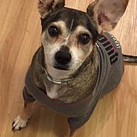Adopt A Pet :: DINGO - Courtesy - Los Angeles, CA