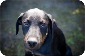 Rottweiler Puppy for adoption in West Los Angeles, California - Abigail