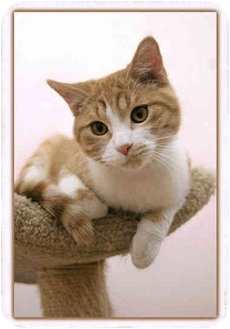 Domestic Shorthair Cat for adoption in Sterling Heights, Michigan - Colby - ADOPTED!