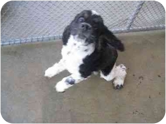 Cocker Spaniel Dog for adoption in Tacoma, Washington - Marcello