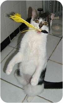 Domestic Shorthair Kitten for adoption in New York, New York - Pet-unia!!