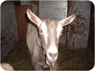 Goat for adoption in Wooster, Ohio - Cosmo