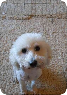 Poodle (Toy or Tea Cup) Dog for adoption in West Los Angeles, California - Fiona