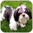 Photo 1 - Shih Tzu Puppy for adoption in Los Angeles, California - BELL