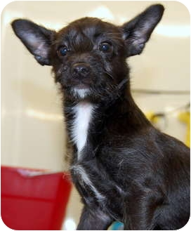 Dachshund/Terrier (Unknown Type, Small) Mix Dog for adoption in Cedar Bluff, Alabama - Jackson