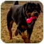 Photo 3 - Rottweiler Dog for adoption in Colville, Washington - Bodi