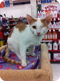 Domestic Shorthair Cat for adoption in Phoenix, Arizona - BLINK: special needs