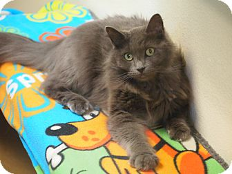 Domestic Mediumhair Cat for adoption in Coronado, California - Nicholas