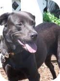 Labrador Retriever Mix Dog for adoption in Lewisville, Indiana - Josie