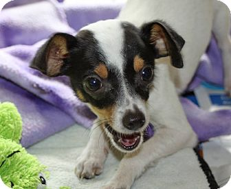 Rat Terrier/Chihuahua Mix Puppy for adoption in LEXINGTON, Kentucky - EDDIE