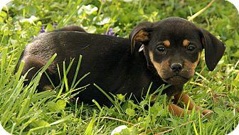 Pug/Australian Cattle Dog Mix Puppy for adoption in Washington, D.C. - Gordie