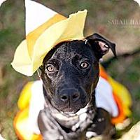 Adopt A Pet :: Blair - Reisterstown, MD