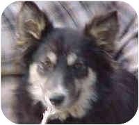 Border Collie/Husky Mix Puppy for adoption in Phelan, California - Elf