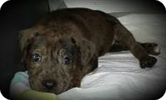 Labrador Retriever Mix Puppy for adoption in Marlton, New Jersey - Lady