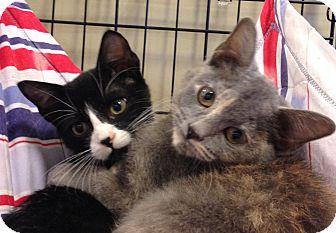 Domestic Shorthair Kitten for adoption in Houston, Texas - Torti & Tux