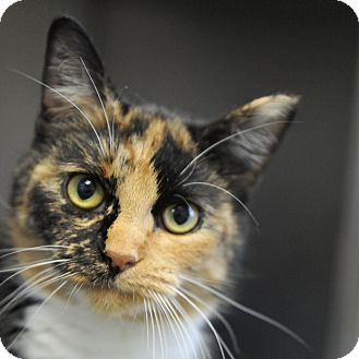 Calico Cat for adoption in South Haven, Michigan - Beans