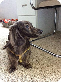 Dachshund Dog for adoption in Grand Rapids, Michigan - Loki Dan