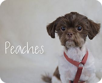 Shih Tzu Mix Dog for adoption in Chester, Maryland - Peaches