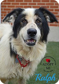 Border Collie Mix Dog for adoption in Youngwood, Pennsylvania - Ralph