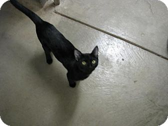 Domestic Shorthair Cat for adoption in Orland, California - Panther
