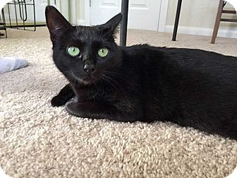 Domestic Shorthair Cat for adoption in San Diego, California - Aleida
