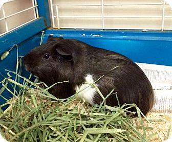 Guinea Pig for adoption in Bellingham, Washington - Sven