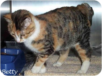 Domestic Shorthair Cat for adoption in Culpeper, Virginia - Betty