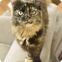 Domestic Mediumhair Cat for adoption in Nashville, Tennessee - Amy